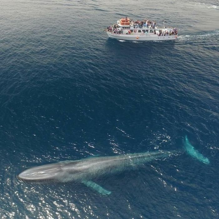 Blue whale compared to 75' boat